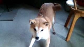 飼い主が帰宅した時の犬(柴犬)