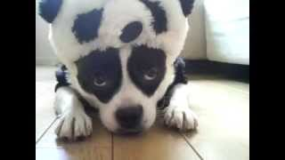Panda Dog French Bull ×Pomeranian  mix パンダ犬