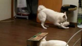 ダンボールを使って犬を脅かす猫