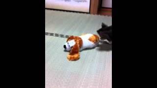 笑い犬にチワワがビックリ