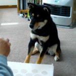 おもしろ犬~ピアノを弾く犬VOL.1再~