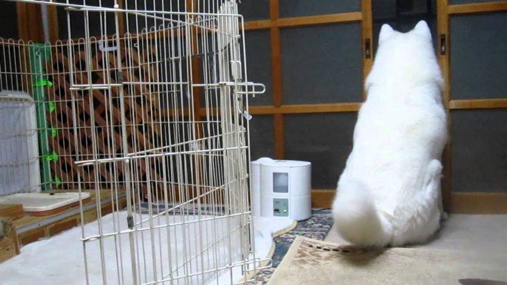 秋田犬自分でもビックリしたおならは尻尾で拡散【akita dog fart】