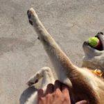 無抵抗に甘える柴犬が最高にかわいい Amazing shiba
