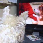 犬の動画を真剣に見る犬(*´∀`*)