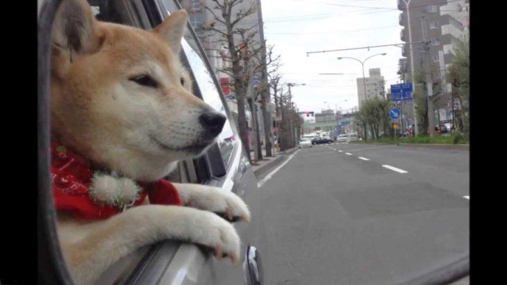 バックミラーで見たかわいい犬の表情          Japanese dog    shiba inu 柴犬動画 cute puppy