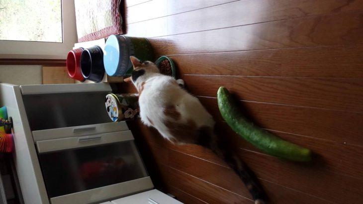 きゅうりにびっくりする猫その2