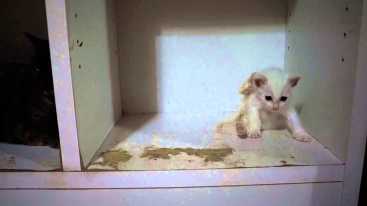 子猫のあんな チワワに 「あ~びっくりちた~」 cat kitten kitty