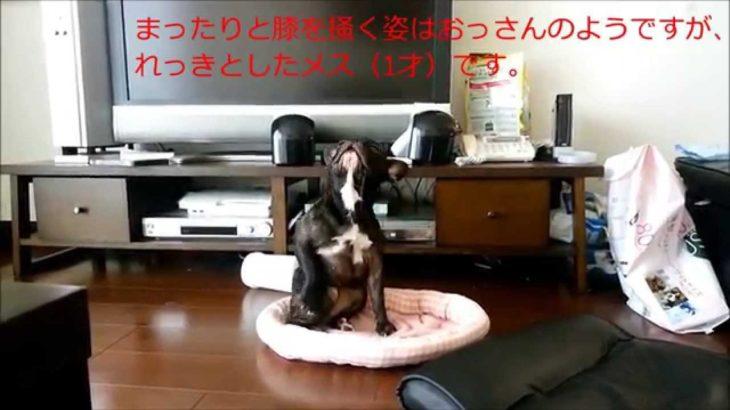 ☆フレンチブルドッグおもしろ動画 french bulldog lol