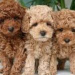 「可愛い犬」TOP10人気犬種ランキング 2016