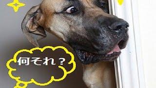 「ベスト犬ドッキリ」一瞬で笑っちゃう犬のハプニング・可愛い過ぎる #1
