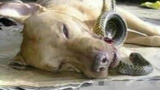 「犬感動実話」泣けるほど忠誠心に富み、勇敢な犬の話・犬の素晴らしいところ見せる動画