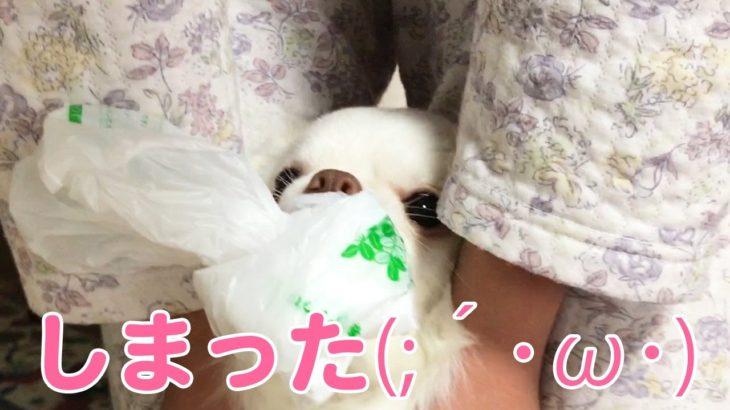 【犬】どろぼう捕まる!カワイイチワワの姿/[Dog] Thief caught! Appearance of the kawaii Chihuahua
