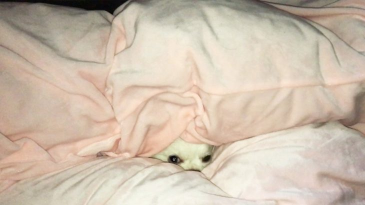 犬が布団から顔を出す仕草がカワイイ!チワワのコハクさん【A dog lurking in a futon】 A cute little chihuahua gesture like a mole