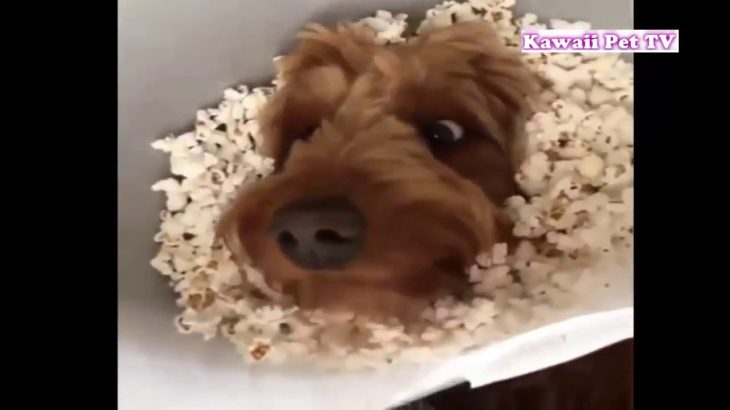 「おもしろ犬」最高におもしろ人間化した犬たちのハプニング・かわいくて面白い