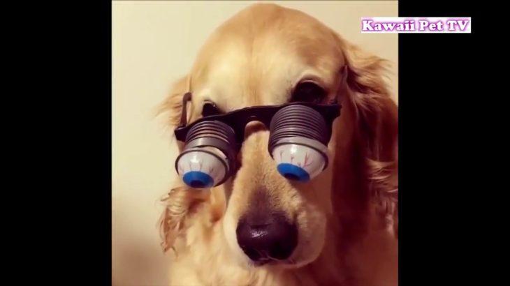 「最高におもしろ犬」 かわいいゴールデンレトリバーのハプニング, 失敗動画集#2