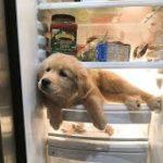 「最もおもしろ犬」 かわいいゴールデンレトリバーのハプニング, 失敗動画集
