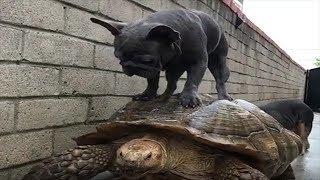 【クスっと笑えるおもしろい犬の動画】親亀の背中にフレンチブルドッグ。