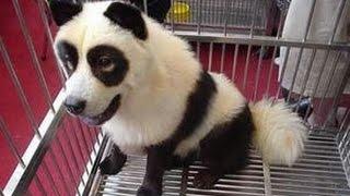 犬なのか、パンダなのか?犬のパンダっぷりが凄い♡~Dog panda sore is amazing.