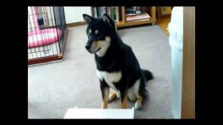 おもしろ犬~ピアノを弾く犬VOL.1~