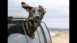 「絶対笑う」最高におもしろ犬のハプニング, 失敗動画集・かわいい犬