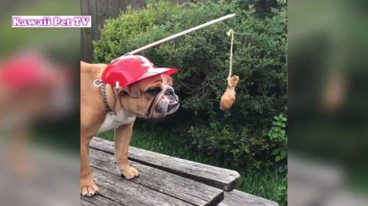 最高におもしろブルドッグ犬のハプニング, 失敗・かわいくてたまらない