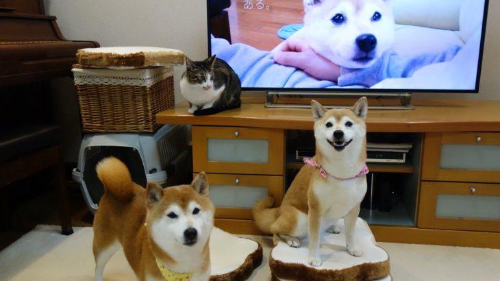 柴犬いちご テレビCM第2弾 記念撮影 Shiba Inu and  Cat
