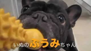 フレンチブルドッグ~いぬのぷうみちゃん その3