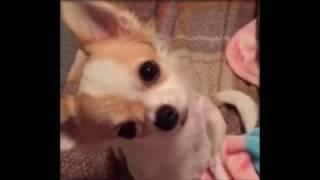 【カワイイ】思わずにやける犬のおもしろ・癒される動画まとめ
