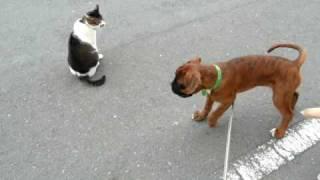 """初めての猫パンチで焦るボクサー犬 A cat says that I am not """"defeated by you""""."""