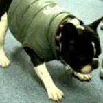 犬、フレンチブルドッグのタケゾウ、French Bulldog,おもしろ動画、感動動画