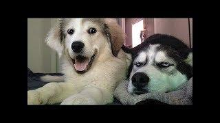 笑わないようにしてください・最高におもしろハスキー犬のハプニング集