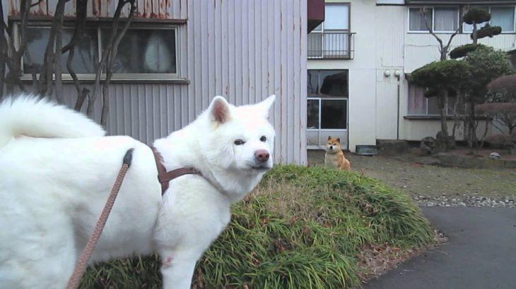 秋田犬カワイイ子の前では何も言えない【akita dog】