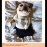 ブサカワ、面白い、犬 フレンチブルドッグ 人気の可愛い犬の画像Ranking 2015