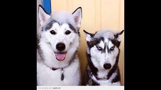 笑わないようにしてください!面白いハスキー犬のハプニング特集