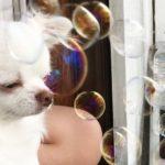 シャボン玉を初めて見た犬のチワワはどんな反応をする?Soap bubbles and dogs!What reaction will you do?