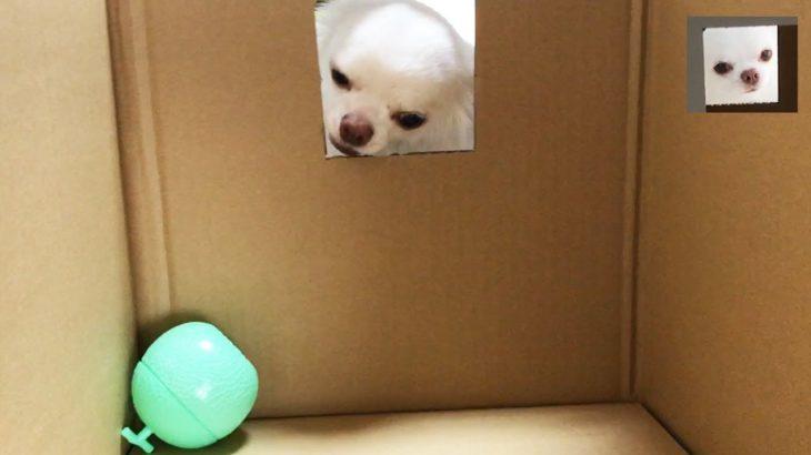 段ボールの犬小屋に警戒しすぎる犬/Corrugated dog house and doggy dog