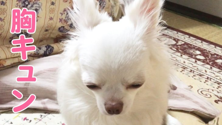 【犬】チワワのコハクさんが甘える時のキュートな仕草/Cute gesture when the dog is spoiled