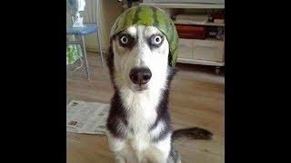 笑わないようにしてください!面白いハスキー犬のハプニング特集 1