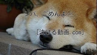 ごめんよシバ  泣ける動画 犬