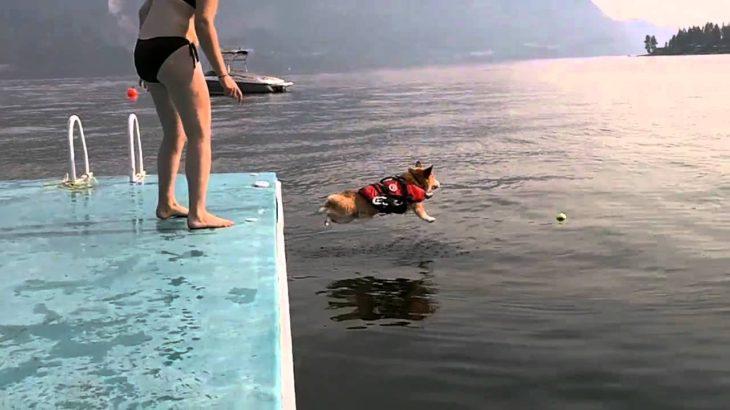 怖がりなコーギー犬が思い切って海にジャンプ!
