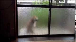 犬おもしろ動画☆のぞき魔と呼ばれる柴犬!飼い主が食事を始めると家の中をのぞく