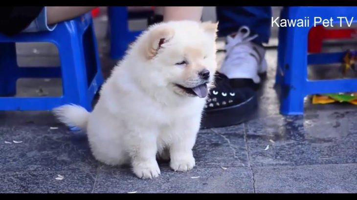 可愛い犬●世界一可愛いチャウチャウのワンちゃん