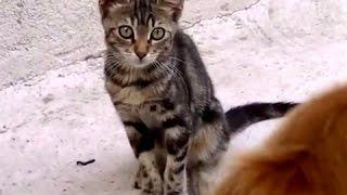 犬に猛烈にアピールする猫が可愛いのですがww Cat Loves Dog