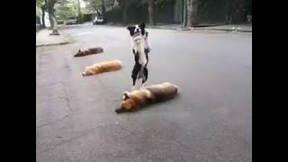 Amazing Jumping Dog / 二足歩行のジャンプ犬