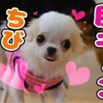 【特集】胸キュンの超かわいいチワワが遊ぶよ!Super cute chihuahua!