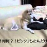 びっくり箱でびっくりする犬