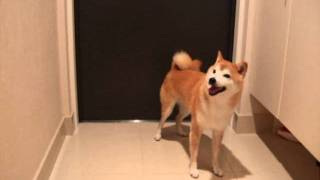 柴犬 シバタ VS カミナリ