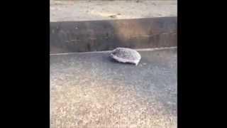 ハリネズミの全力疾走