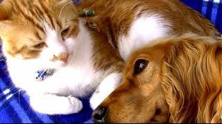 犬の看病に疲れた猫 今度は犬が猫を優しく見守る 猫と犬の愛情物語  Cat and Dog Friendship. A heart Touching Story.