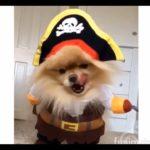 【犬カワイイ】いるだけでかわいいコスプレで動き回るワンちゃん達の動画